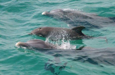 Three dolphins swimming in clear water