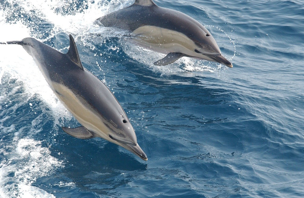 Two dolphins swim side by side over bright blue waves