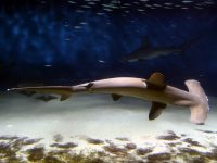hammerhead shark swims in clear waters over white sand