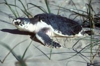 a hatchling sea turtle crawls along a white sand beach